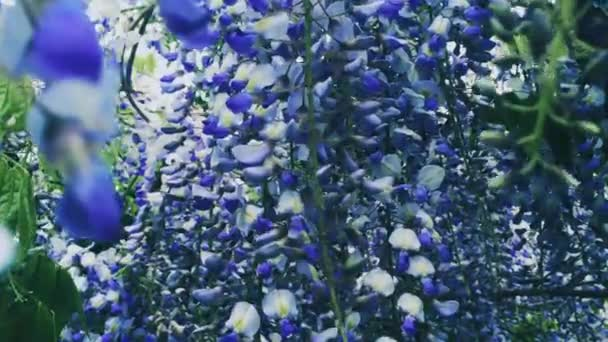 Violet wisteria flowers and leaves in botanical garden as floral background, nature and flowering