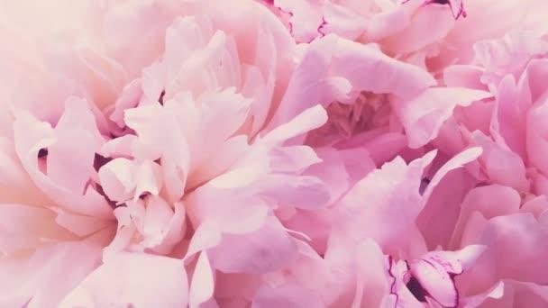Rózsaszín bazsarózsa virágos, pasztell bazsarózsa virágok nyaralás, esküvő és virágos háttér