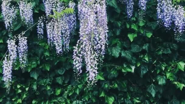 Fialové vistárie květiny a listy v botanické zahradě jako květinové pozadí, příroda a květiny