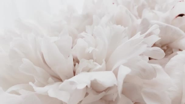 White peonies in bloom, pastel peony flowers as holiday, wedding and floral background