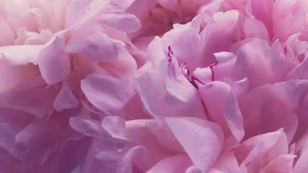Pink peonies in bloom, pastel peony flowers as holiday, wedding and floral background