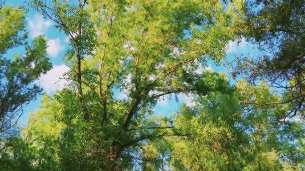 Stromy v lese a modré obloze, zelené listy jako příroda, krajina a přírodní prostředí