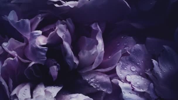 Sötét ibolya bazsarózsa virágos, lila bazsarózsa virágok nyaralás, esküvő és virágos háttér
