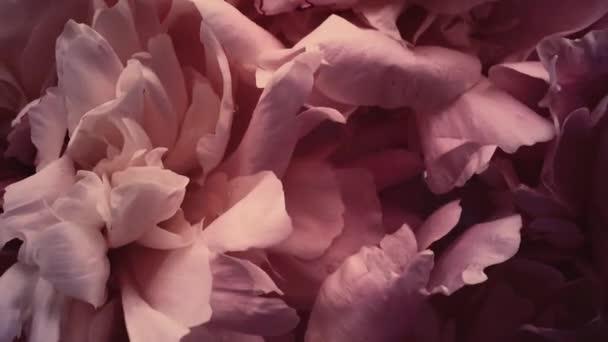 Ročníkové pivoňky v květu, pastelové pivoňkové květy jako sváteční, svatební a květinové zázemí
