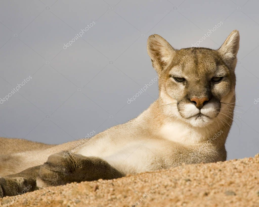 This graceful mountain lion is paying close attention to the photographer at Out of Africa in Arizona.