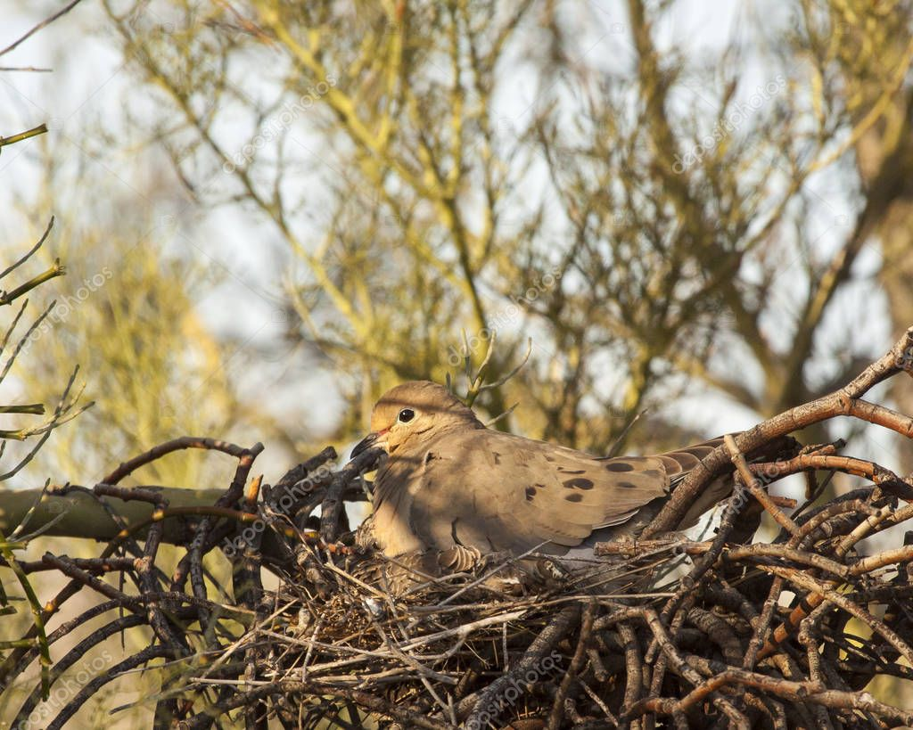 The morning sun casts a warm glow on this mourning dove as she sits on a nest.