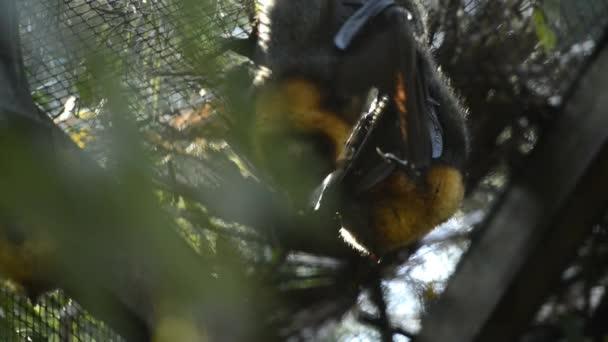Kleine Gruppe von Graukopf Flying Fox Fledermäuse