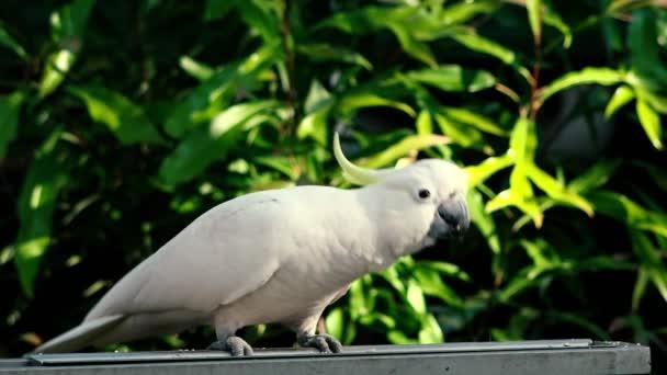 Žlutá chocholatý Kakadu venku v přírodě během dne