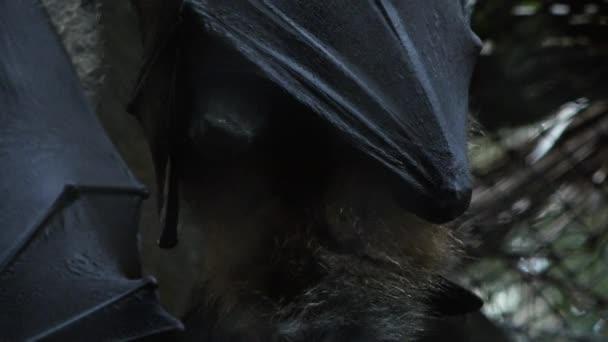 Closeup of a Grey-headed Flying Fox bat