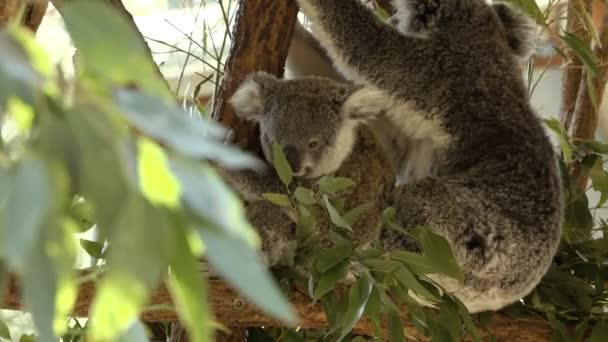 Cute Australian mother Koala with her joey in a tree resting during the day.