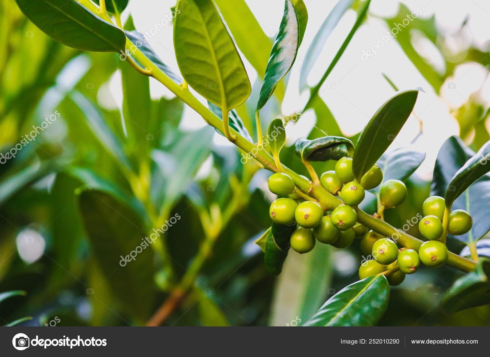 Pianta Foglie Rosse E Verdi paesaggio di piante verdi naturali, primo piano. verde