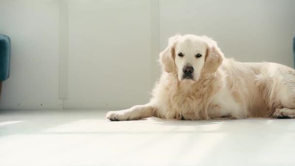 pomalý pohyb roztomilých čistokrevných psů ležel na podlaze a dýchal při ukazování jazykem