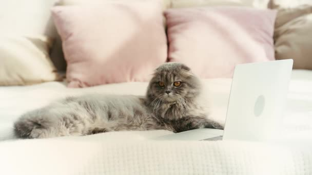 slow motion of cute cat lying on bed and waving tail near laptop in bedroom