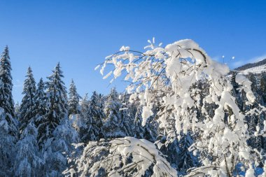 Beautiful winter wonderland scenery with snow on trees and branches in a valley in Graubuenden, Engadin