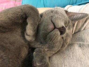 beautiful cat sleeping in a gentle pose