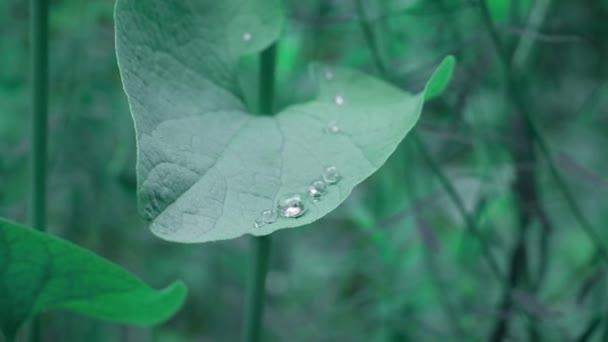 Zavřít kapky vody na zeleném listí v lese.