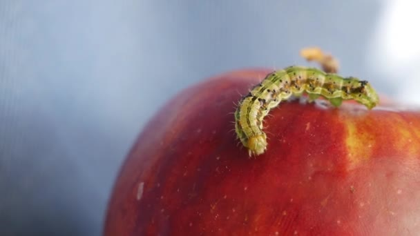 Green caterpillar crawling on a red apple