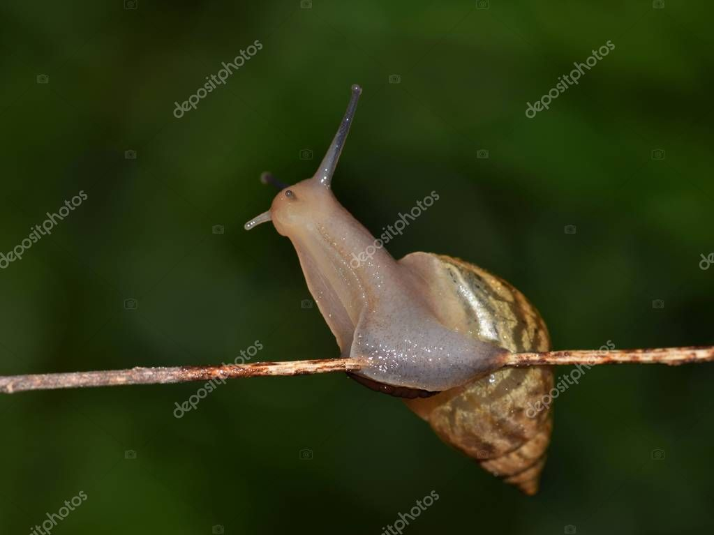 A small land snail appears to be getting its bearings on a thin stem during the night hours in Houston, TX.