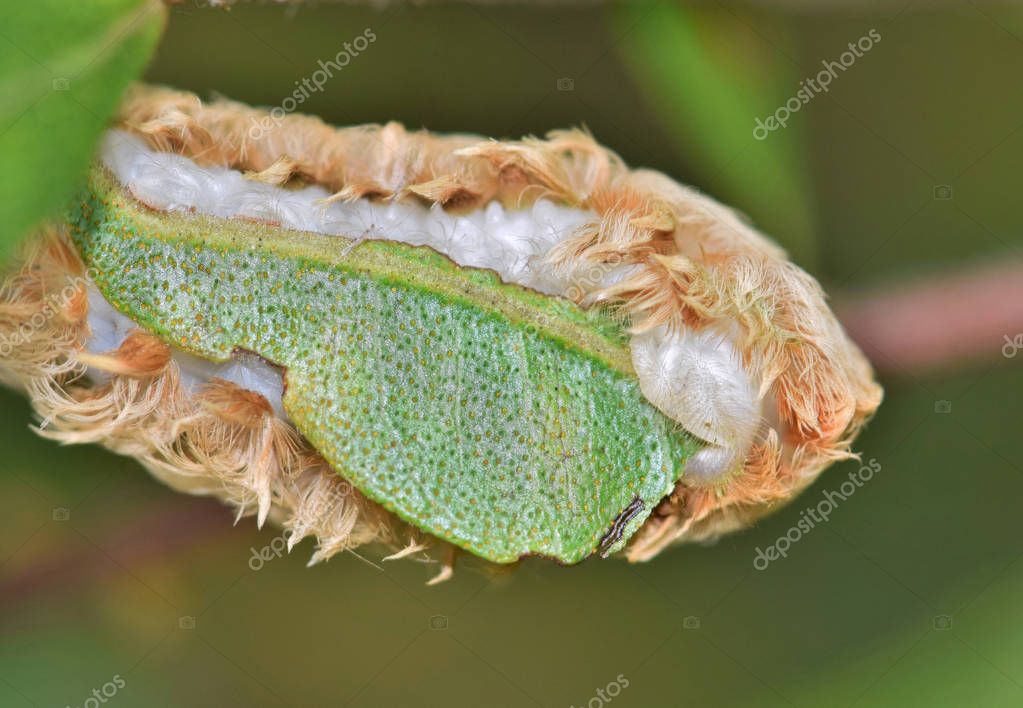 A Flannel Moth caterpillar (Megalopygidae opercularis) eating a tree leaf and showing its soft white underside. These are venomous creatures and must not be handled.