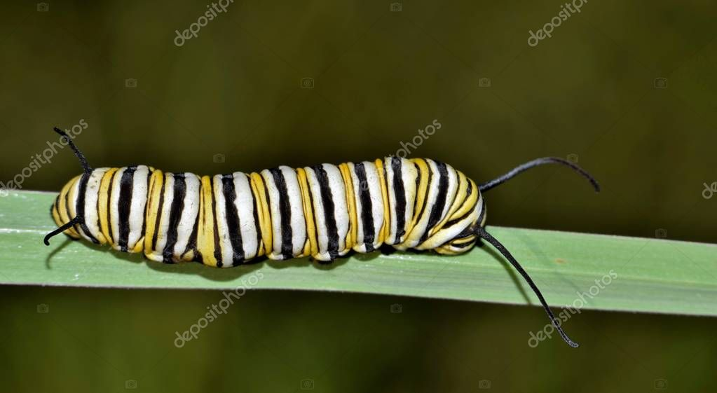 A colorful banded Monarch caterpillar (Danaus plexippus) makes its way along a blade of thick grass in Houston, TX.