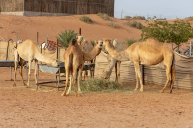 A Group of camels eating in an enclosed farm.