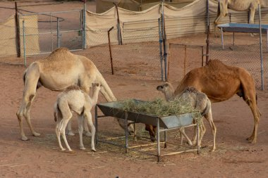 A pair of mother and baby camels eating in an enclosed farm.