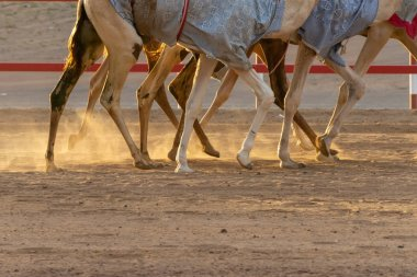 Camels on race track practicing: legs only