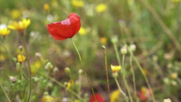 Egy magányos piros mák virág meadow