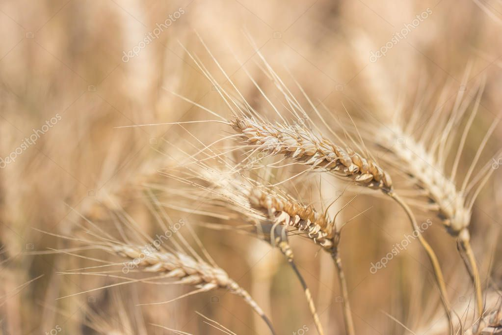Wheat field. Ears of golden wheat close up. Ready to harvest.