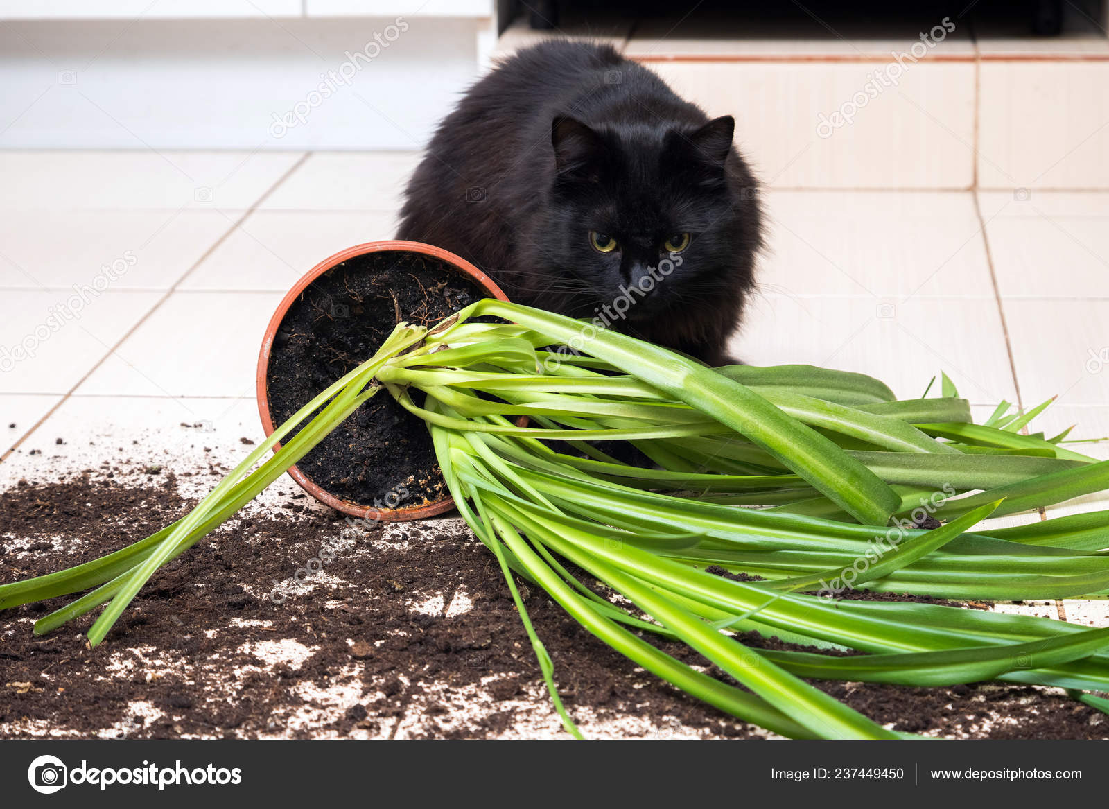 Gatto nero è sceso e ha rotto il vaso di fiori con la pianta verde