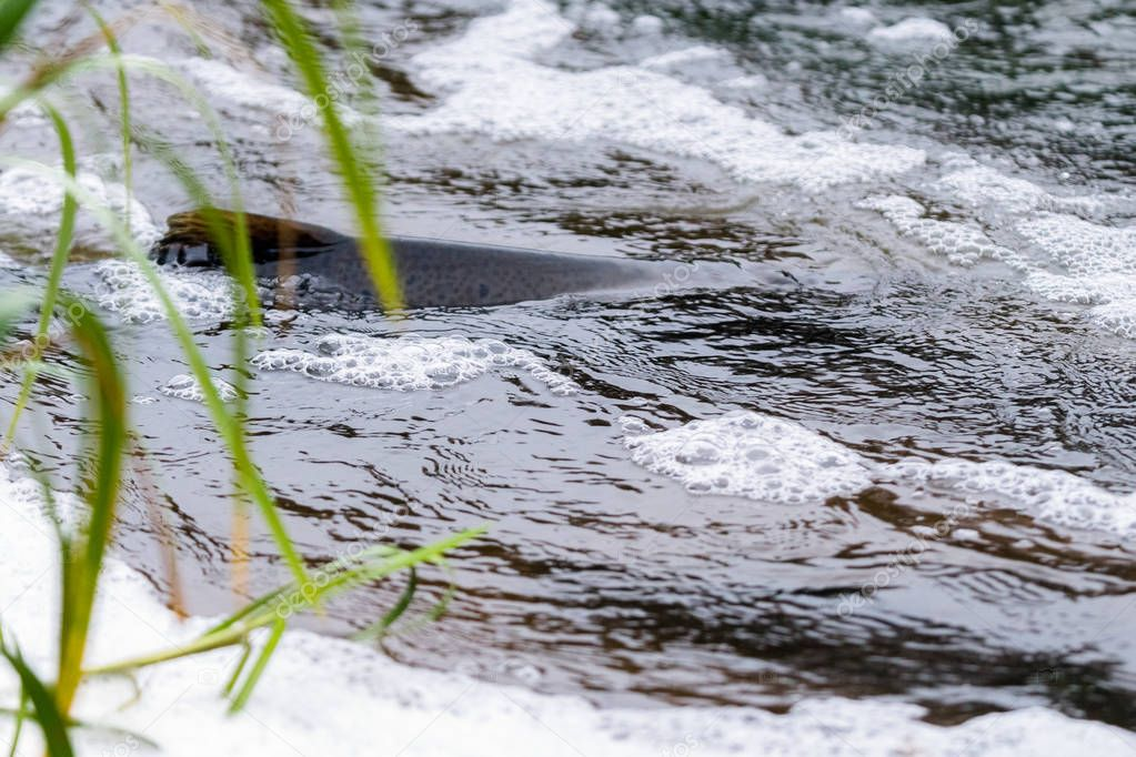 Atlantic salmon leaping rapids to find nesting place. Fish swimming in river upstream to breed