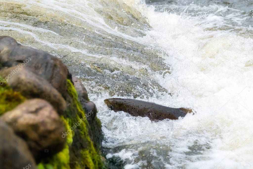 Atlantic salmon leaping rapids to find nesting place. Fish swimm