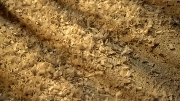 Ephemera hainanensis - Eintagsfliege oder auch als Fisch-, Schatten- oder Flügelfliege bekannt. Eintagsfliegen wimmeln nachts um Straßenlaternen auf dem Boden. Paarungszeit, Wildinsekten