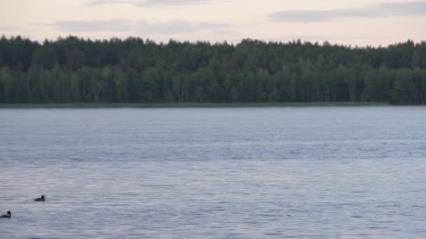 Nyugodt este a tó mellett úszásra kacsa és az erdő a háttérben. Naplemente ég a vízparton. Nyugodt idő kemping jellegű
