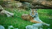 Fotografie Tiger auf dem Boden in den Tiergarten Straubing