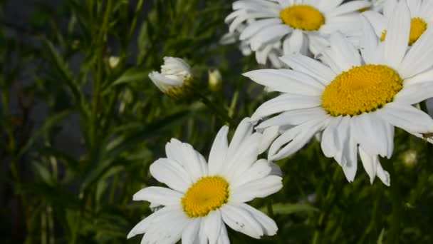 Close-up white daisies sway in a gentle breeze