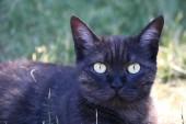 Sonya die Katze, Jäger für Beute, graues Tier