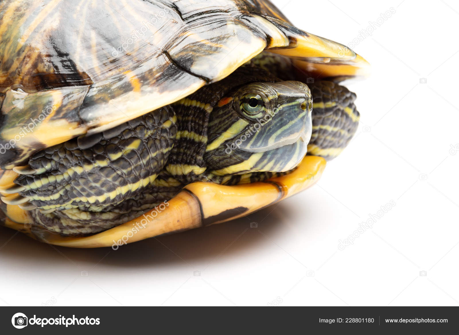 Red Eared Slider Turtle Side View Side View Pet Turtle Red Eared Slider Trachemys Scripta Elegans Stock Photo C Freerlaw 228801180