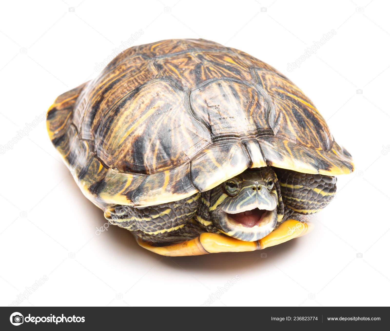 Side View Pet Turtle Red Eared Slider Trachemys Scripta Elegans Stock Photo C Freerlaw 236823774