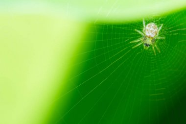 spider on web and green background, macro spider on web, animal in wild