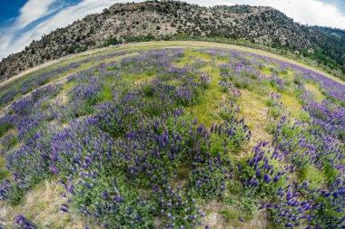 """Картина, постер, плакат, фотообои """"Экстремальные широкий угол рыбий глаз вид диких люпина полевых цветов, растущих в лугу в Калифорнии"""", артикул 243799328"""