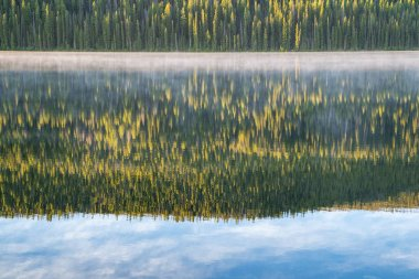 Abstract view of dense forest of Ponderosa Pines reflecting on S