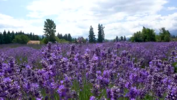Panning shot of purple lavender flowers in bloom. Filmed in Sequim Washington on the Olympic Peninsula