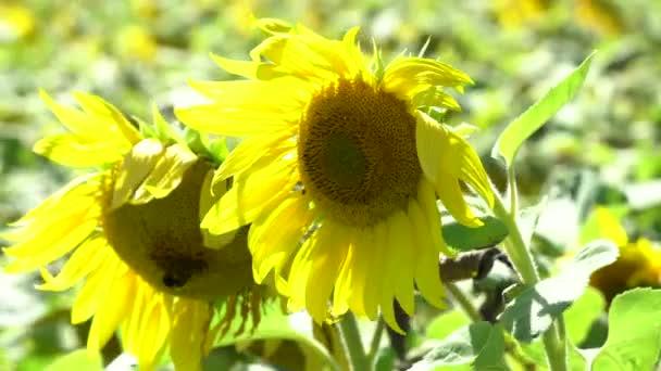 Krásná žlutá slunečnice fouká v klidném vánku za slunného letního dne