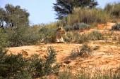 Photo Leaning lioness, Panthera leo, Kalahari South Africa