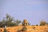 Photo Yawning lioness, Panthera leo,  Kalahari South Africa