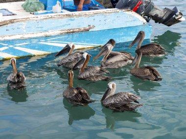 PPUERTO ALORA, SANTA CRUZ, GLAPAGOS, EQUADOR - NOVEMBER MAY 23st 2017 Pelicans await fishes by fishermen, Port of Puerto Arona, Santa Cruz, Galapagos, Ecuador.. November 23st 2017