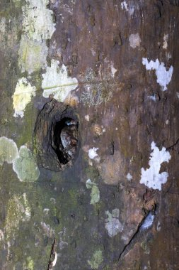 Rare frog , hiding in a tree, Nosy Mangabe, Madagascar