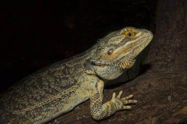 ordinary Australian agama, Central bearded dragon, Pogona vitticeps