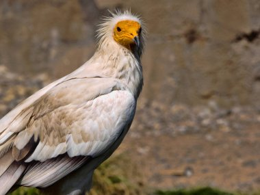 The Egyptian vulture, Neophron percnopterus, is a smaller crayfish bird